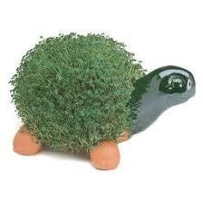 Chia turtle